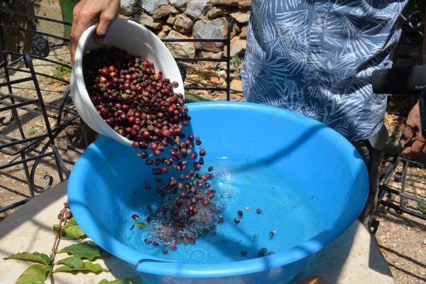 turkiyede-ilk-kez-kahve-meyvesi-uretti_9984_dhaphoto6.jpg