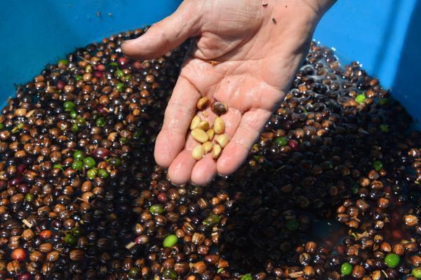 turkiyede-ilk-kez-kahve-meyvesi-uretti_9984_dhaphoto8.jpg